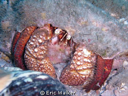 Hermit Crab. Taken at Blue Heron Bridge in West Palm Beac... by Eric Walker 